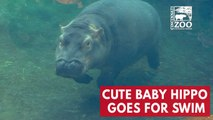 Cute baby hippo Fiona goes for a swim at Cincinnati Zoo