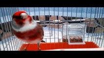 La Star du Chant d'oiseaux