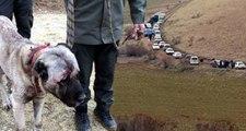 Konvoy Böyle Görüntülendi! Köpek Dövüşü için 7 İlden Gelen 100 Bahisçiye Operasyon