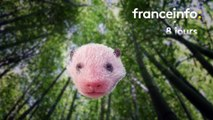 Yuan Meng le panda de Beauval : de petite saucisse à grosse peluche, découvrez notre étonnant morphing