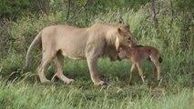 Cette lionne protège un bébé gnou d'un autre lion qui veut le dévorer
