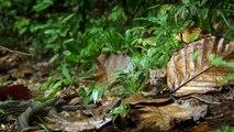 Le Chat rubigineux   le plus petit chat du monde