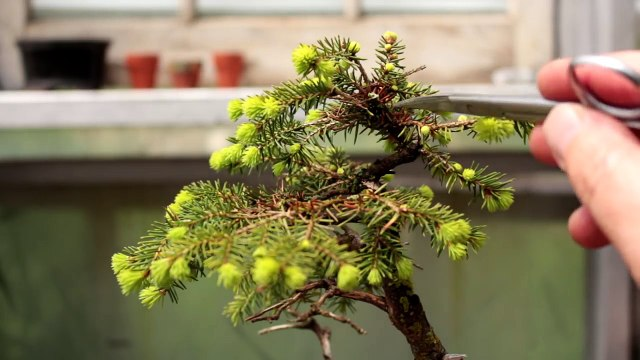 Three Spruce Bonsai Trees Part 1 May 2017 Video Dailymotion