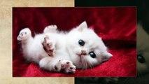 Scottish fold cats from scotland