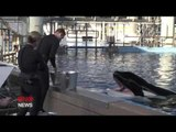 Killer Whale Tilikum That was Subject of 'Blackfish' is Severely Ill