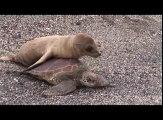 Ce bébé lion de mer prend cette tortue pour un taxi et lui grimpe sur le dos