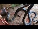 Ils capturent un cobra royal enorme refugié dans une maison