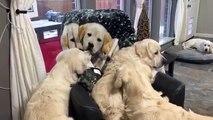 Ces chiens hallucinent devant une photo de chiens sur un fauteuil !