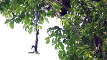 Ce serpent est en galère, un gros lézard dans la gueule, suspendu à un arbre