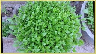 dhaniyan and palak growing O¯U¾U†UŒO§Uº O§