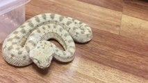 Il filme son serpent à sonnettes au plus près et c'est impressionnant