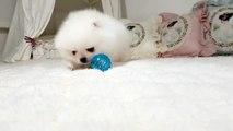 Very Funny White Pomeranian Puppy - video dailymotion
