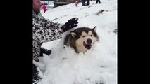Giant Alaskan Malamute Chilling In The Snow - Definition Of A Snowdog - Dog gets buried in snow