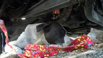 Pit Bull with bleeding tumors surrenders to rescuer and then gives him a kiss  :-)