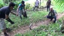 Ils capturent un cobra royal de plus de 3m à Bali... Mission dangereuse