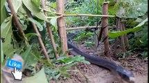 Ce piège à serpent est incroyable...