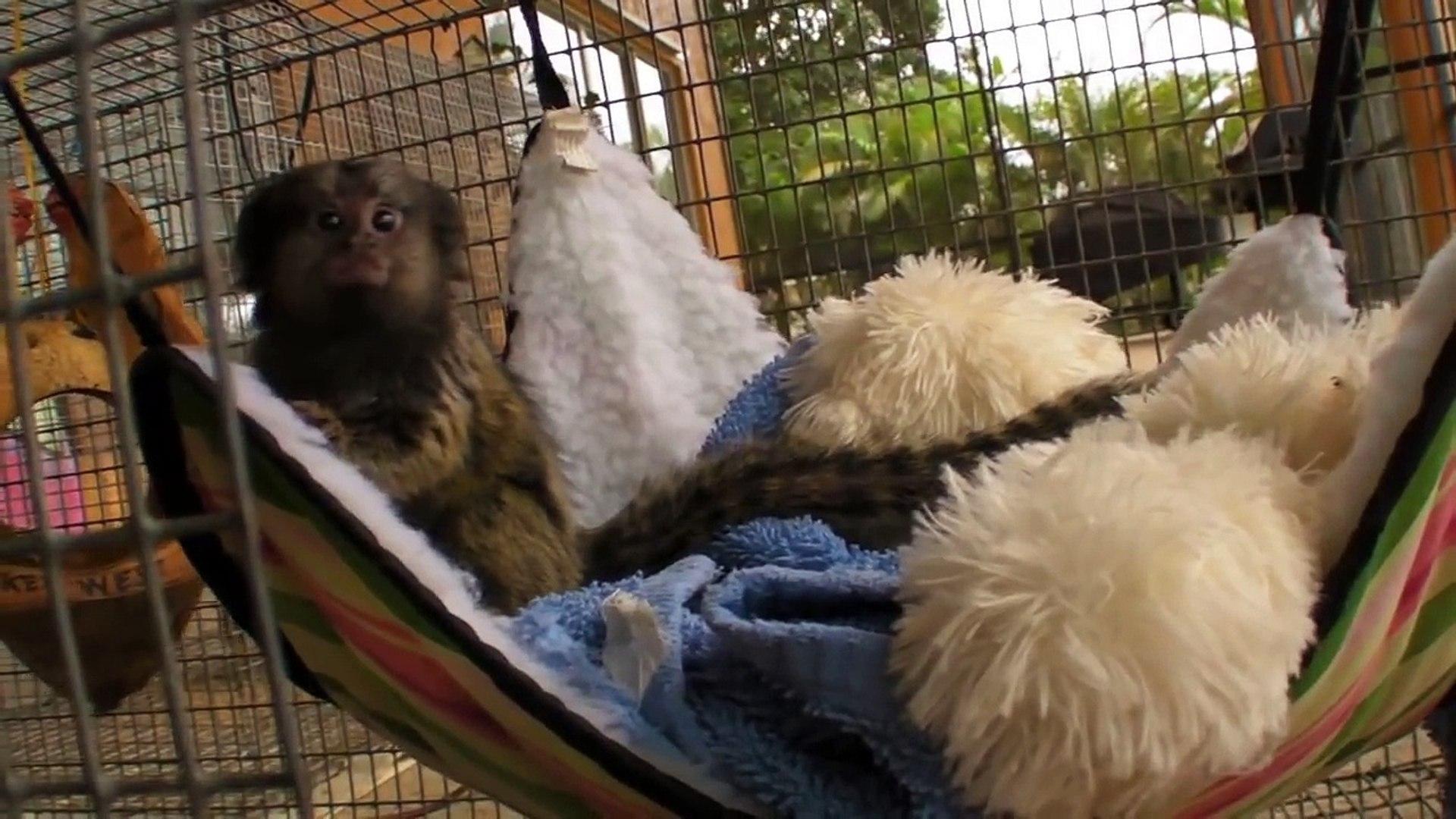 Baby Pet Marmoset Monkey Playing