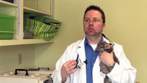 Chinchilla Pets : How to Tame a Chinchilla