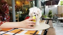 Teacup Puppy maltese puppies videos compilation - KimsKennelUS