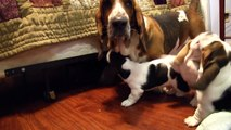 Grandpa Noble Basset Hound Meets the Puppies! Adorable!
