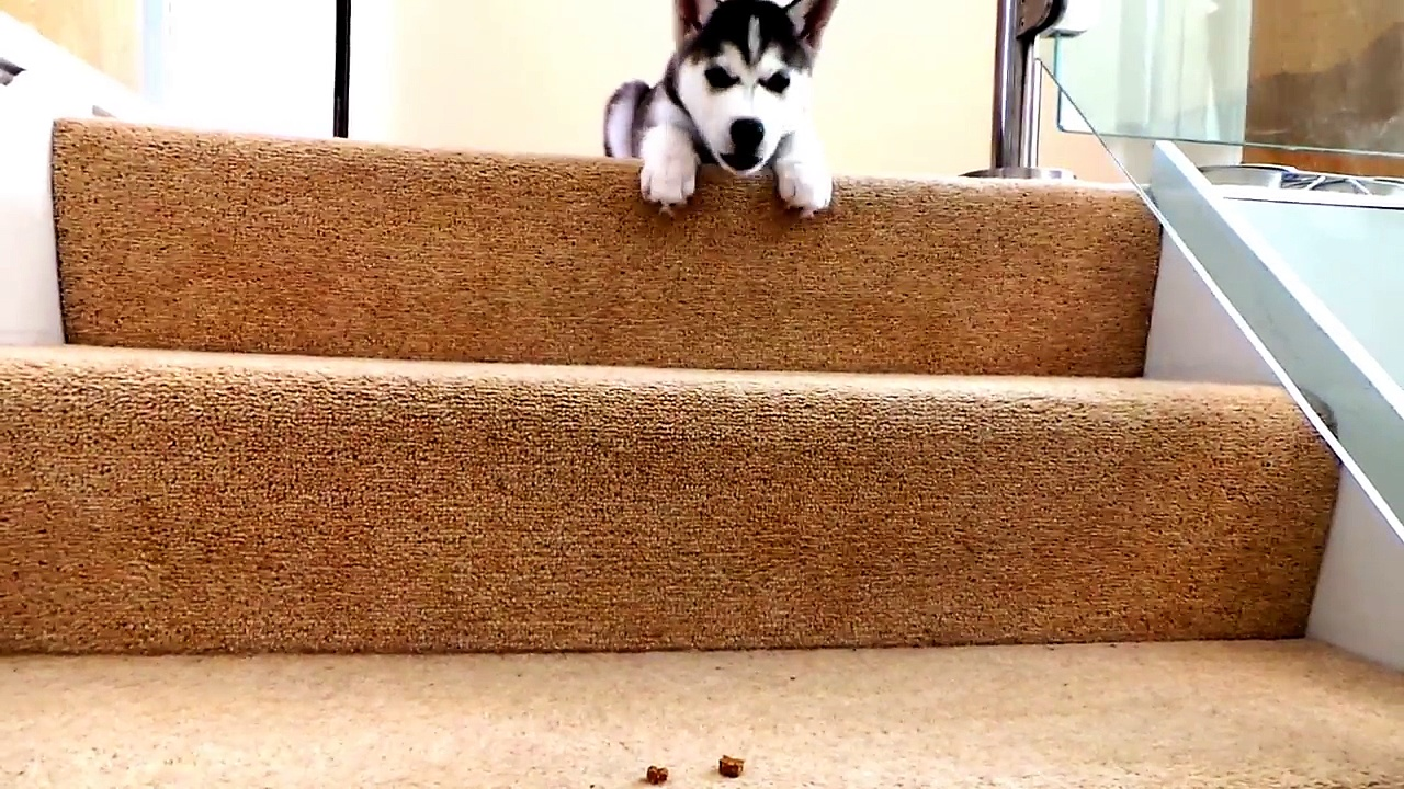 Cutest Husky Puppy – Husky vs stairs