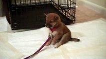 Shiba Inu 7 week old puppy falling asleep- Keiko