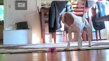Puppy vs. Robot Inchworm:  Cute Dog Maymo