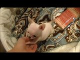 Micro Teacup Chihuahua White Male for sale ~ Baby Casper Boutique teacup puppies