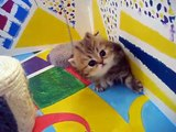 """Cute Persian kittens: the """"I"""" Litter 1 of ? - 7.10.11"""