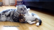 Cute  Kitten wants  attention from Cat