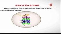 Le protéasome (Présentation ,fonctionnement , Dégradation des constituants cellulaires.