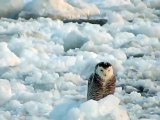 Snowy Owl Perched on Flowing Ice