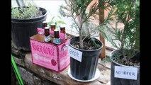 Is Beer Good for Green Giant Arborvitae