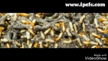 Pest Control ,  Termite Control ,  Rodent Control ,  Indian Pest Control