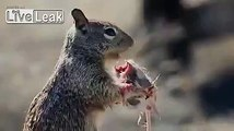 Mignon cet écureuil !! Qui mange une souris... LOL