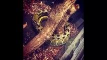 Ce serpent passe son temps à tourner autour d'une branche dans son vivarium