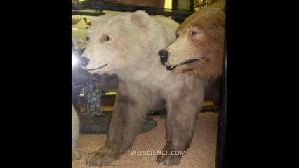 Grizzly–polar bear hybrid - Video Learning