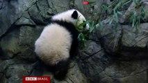Bebê panda faz primeira aparição pública em zôo dos EUA