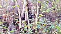 BigFoot 2017 - Mississippi Skunk Ape - ITS REAL (imo) - Breakdown.