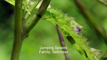Documentary Ant Insects & Spiders: Jumping Spiders, Robber Flies, Crab Spider, Ladybug and