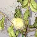 Des centaines de bébés araignées viennent de naitre... Magnifique et terrifiant