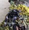 Cette petite araignée est l'animal de compagnie parfait... Trop mignon