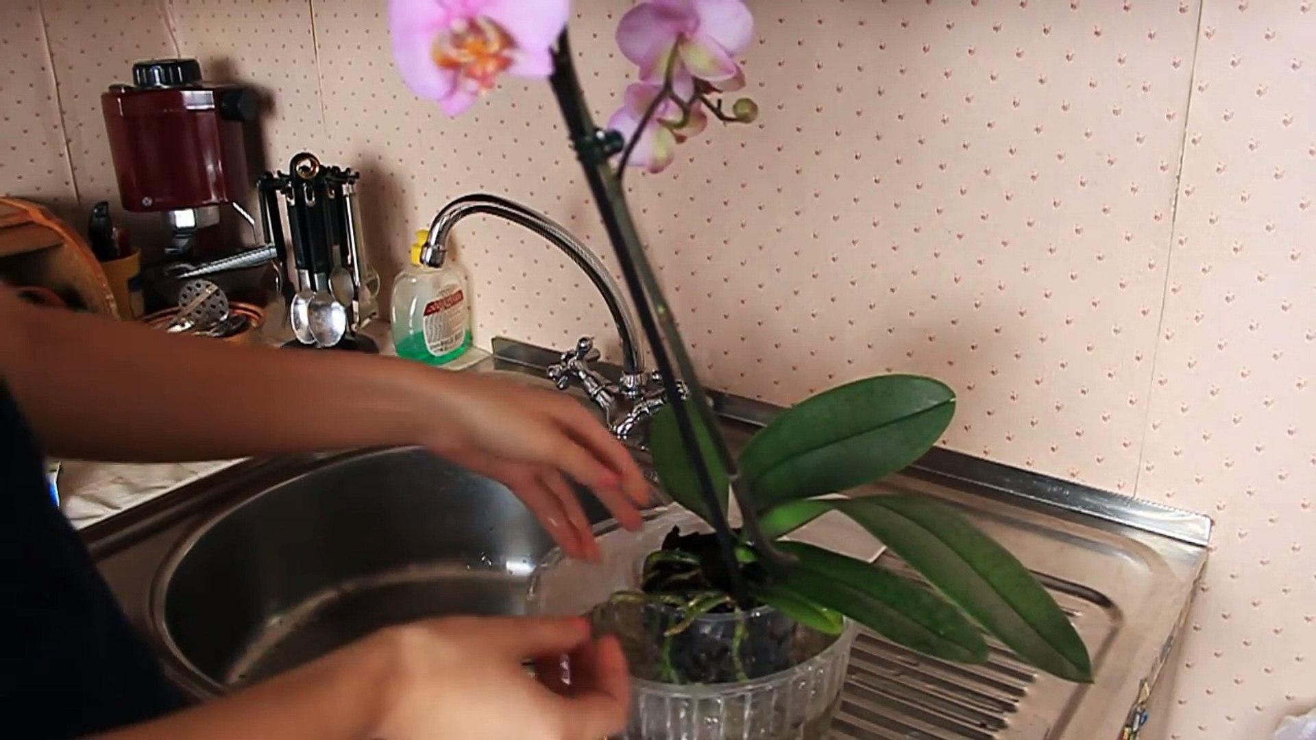 Как правильно ухаживать за орхидеей фаленопсис. Полив орхидеи