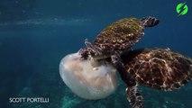 Les images bluffantes de 2 tortues qui mangent une grosse méduse... Magnifique
