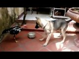 animal fight - Cock vs Dog Viral Fight -Indian animal Funny Fight