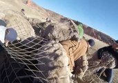 Bighorn Sheep Captured and Relocated in Colorado in Conservation Effort