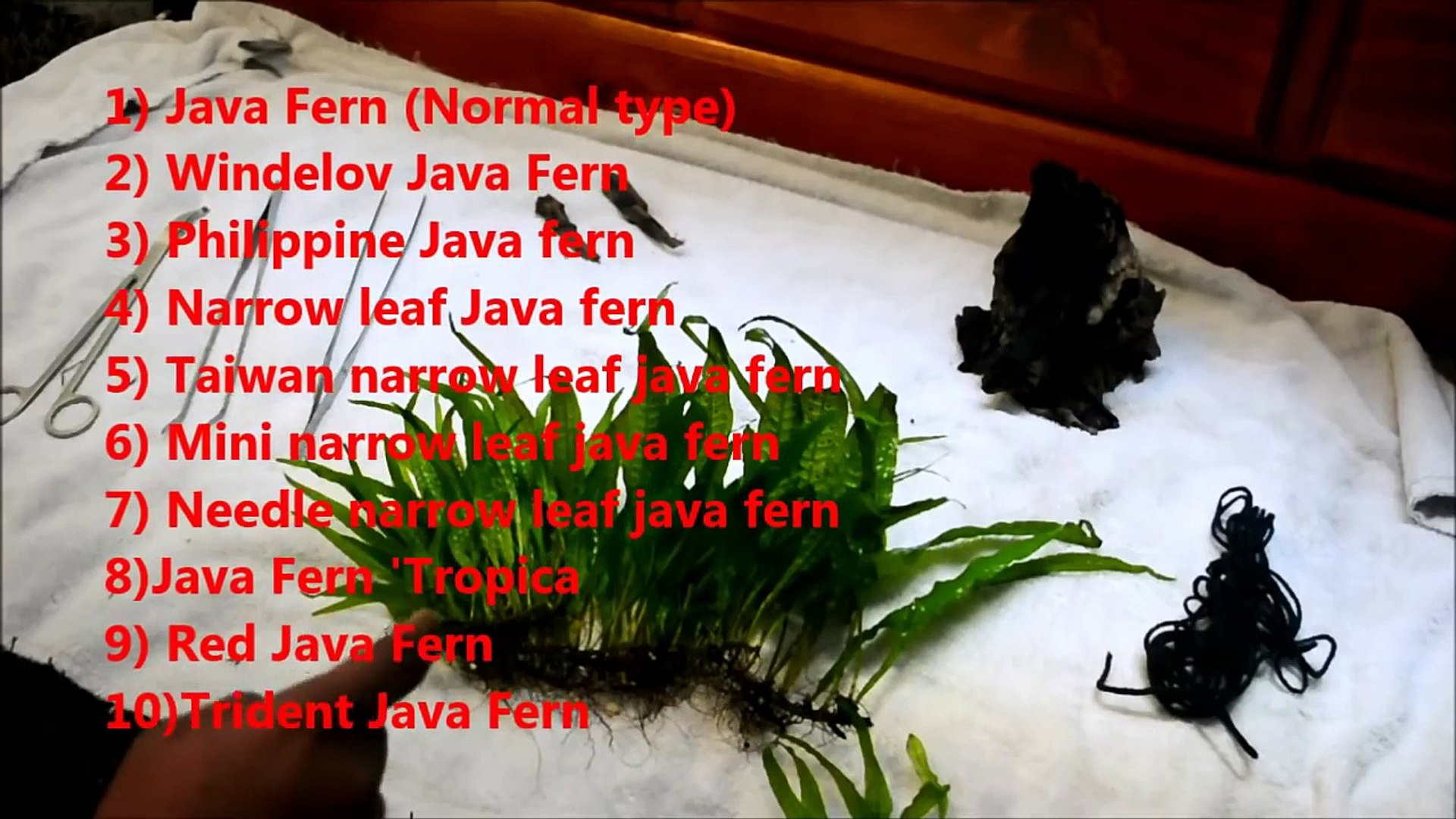 Java Fern Plant Guide and How to Grow and Care for Java Fern