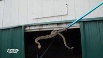 Ils découvrent 60 serpents à sonnette sous une maison