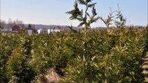 How to Get a Dense Full Green Giant Arborvitae