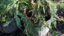 How we grow Mimosa trees from seedlings we find in our nursery